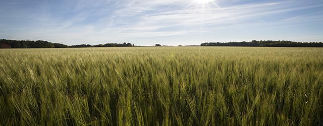 Sommarbilder - ett sädesfält på Mörkö.
